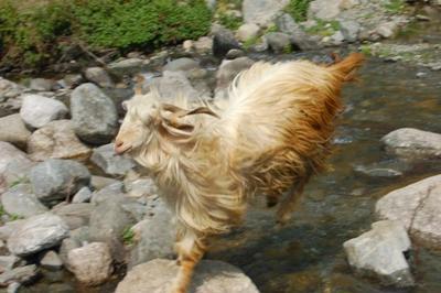 Cashmere Pashmina Goat